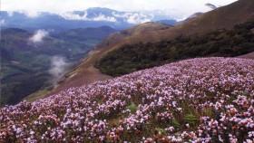 Neelakurinj flowers munnar