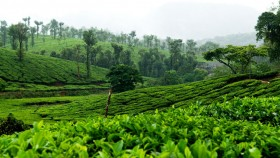 Tea plantations in palakkad