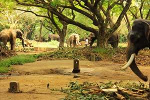Punnathur Kotta Elephant Sanctuary Thrissur